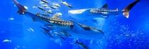 美ら水族館 ジンベエザメ