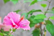 スナドゥンのお庭 ハイビスカスがさいています♪ピンク色