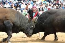 沖縄闘牛。すごい迫力にびっくり