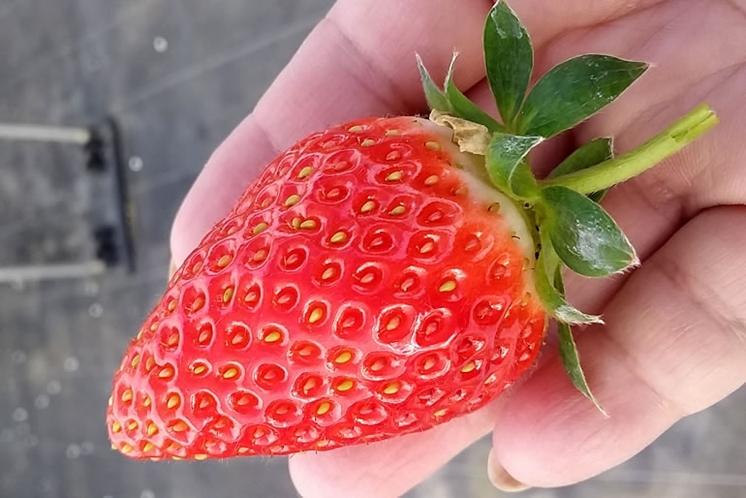 宜野座いちご狩りスタート☆甘くておいしいぎのざのイチゴ