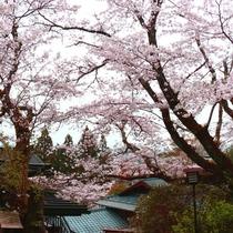 【石庭の桜】