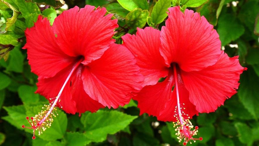 【周辺】ハイビスカス。沖縄の象徴ですね!