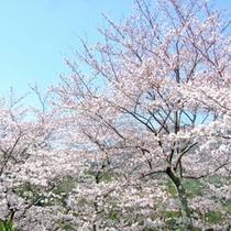 庭園「世隔」の春・桜
