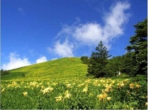霧降高原に咲く日光キスゲ