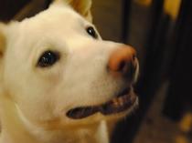三代目看板犬見習い 白ぼたん