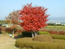 ヤマボウシ紅葉