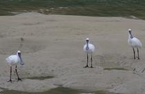 水鳥コーナークロツラヘラサギ0401
