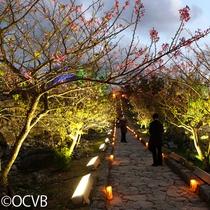 ■今帰仁城桜祭り
