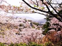 千光寺公園と桜