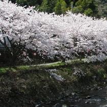 春は桜を見に
