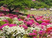 【西山公園】約5万株が咲き乱れる日本海側随一のつつじの名所♪車で約40分☆