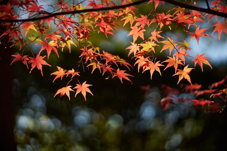 momiji at Kyoto