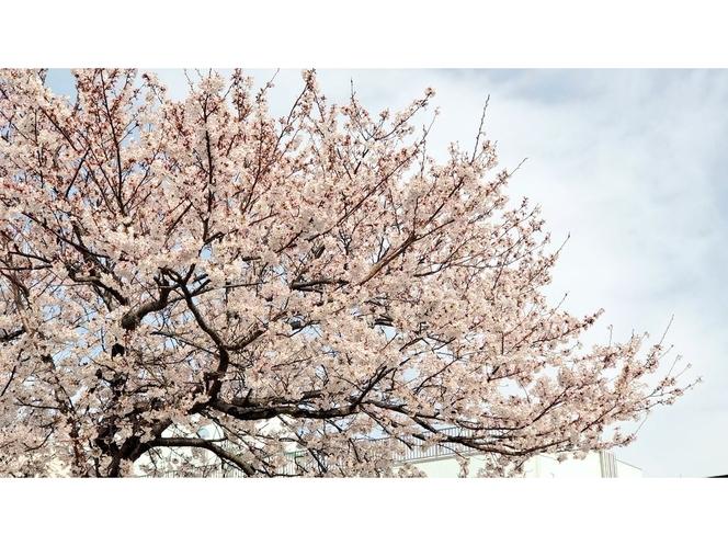 宮川堤防沿いの桜