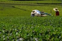 茶畑収穫風景