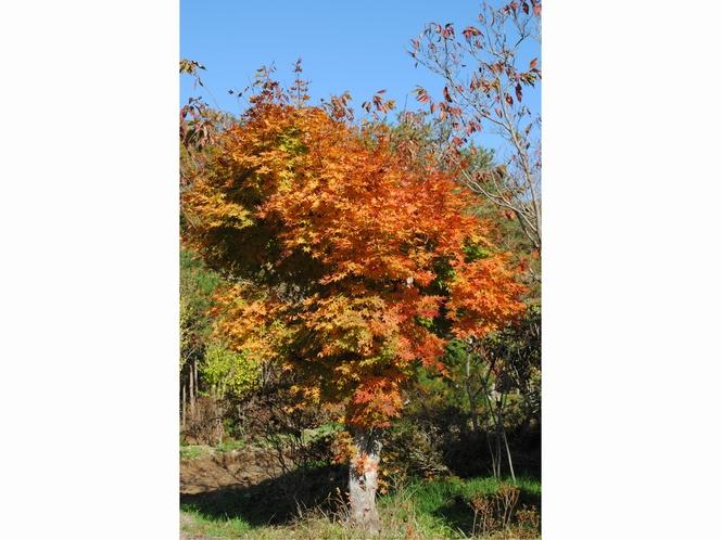 桃の湯の紅葉の見頃は11月頃となっております。