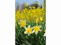 4月 水仙と菜の花