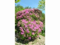 5月には、敷地内に沢山のツツジの花が咲き誇ります