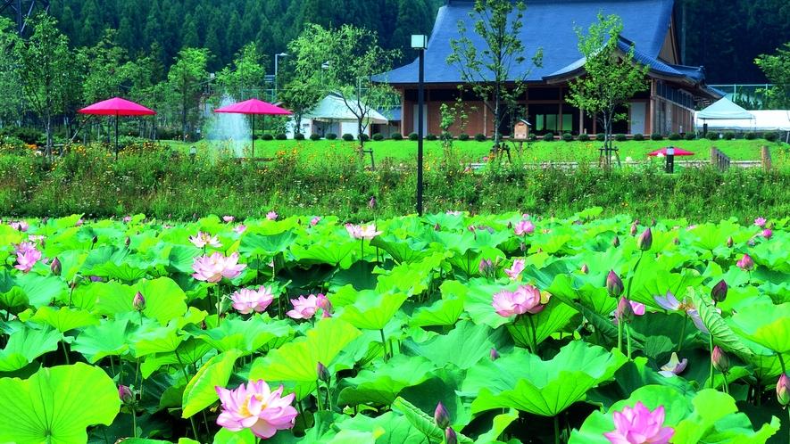 南越前町の花はす公園では7~8月になると世界の花はす約130種が咲き誇ります。