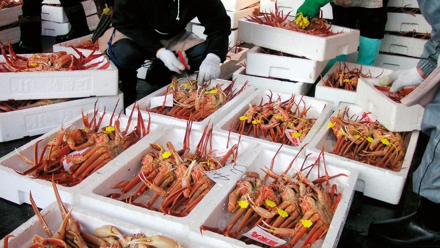 水揚げされた越前蟹が次々と市場へ!