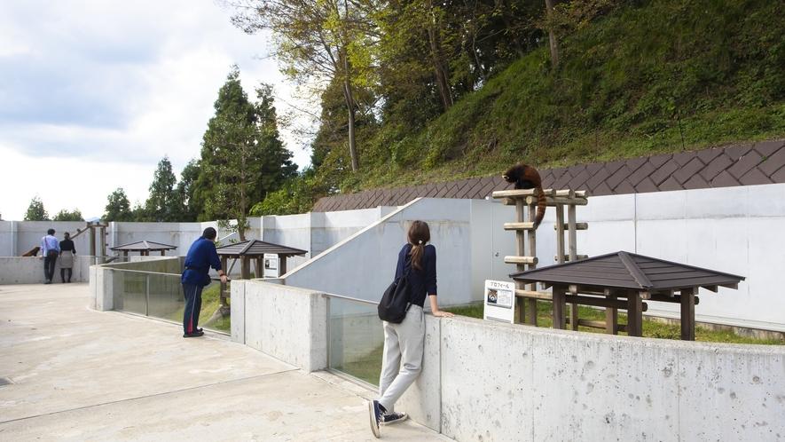 西山動物園は日本有数のレッサーパンダの繁殖地です。