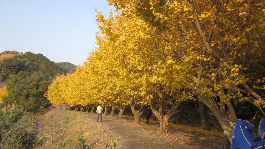 鮮やかな黄色に染まるイチョウの並木道。垂水の名所です!