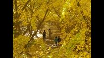*垂水イチョウ園_鮮やかな黄色に染まるイチョウの並木道
