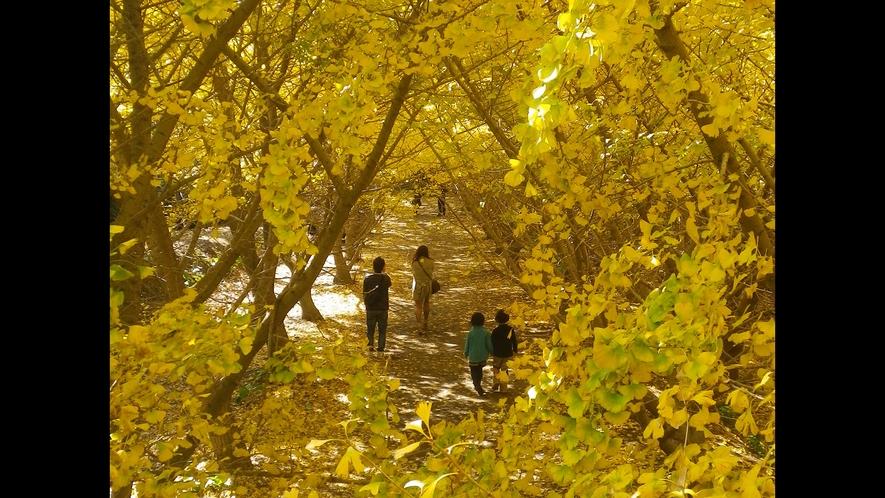 垂水イチョウ園_鮮やかな黄色に染まるイチョウの並木道