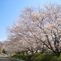 春にはたくさんの桜をご覧いただけます。