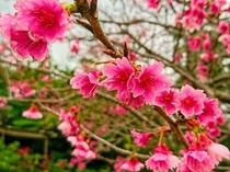 八重岳や今帰仁城跡で、日本一早いお花見(1月下旬~2月上旬頃まで)