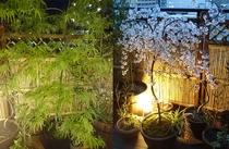 桜と楓の夕暮れ