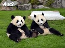 アドベンチャーワールド ふたごパンダ