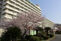 桜 玄関前