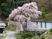 小野豆のしだれ桜