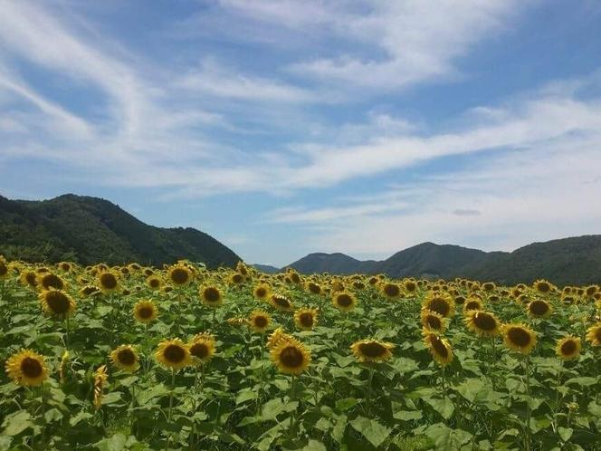 佐用ひまわり畑(7月~8月)