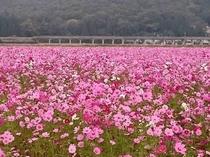 上郡赤松地区のコスモス畑