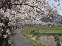 栗原の桜並木