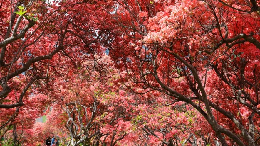 【風呂山公園の山つつじ(塙町)】4月下旬から5月上旬にかけて山つつじが真っ赤に咲き誇ります。