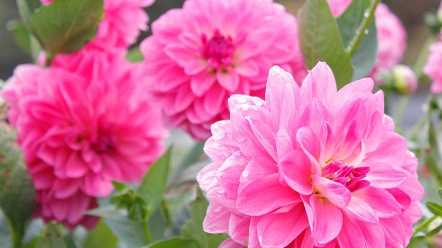 【ダリア園】大輪を咲かせるダリアは写真にしても華やかですね♪