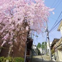 【周辺】当館周辺の参道にある枝垂桜