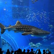 【車で約90分】沖縄を代表する人気スポット「美ら海水族館」悠々と泳ぐジンベイザメ
