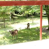 【庭】窓から望む鹿たち♪