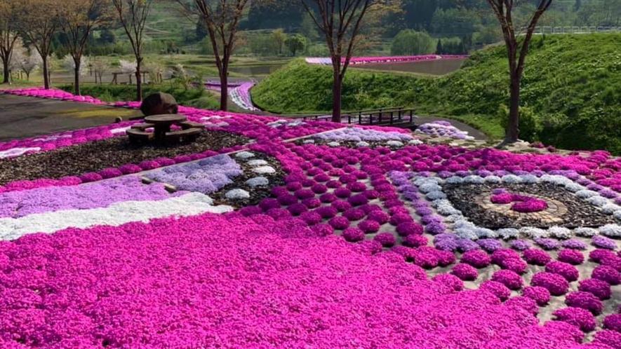 芝桜の見ごろは5月から♪ 鯉のぼりとのコラボレーションも美しいです