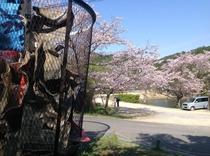 ゴミ箱アート付近の桜!