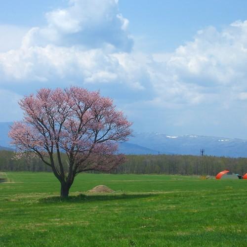 周辺観光(川湯の桜の木)