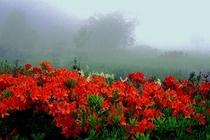 レンゲツツジ咲く大沼