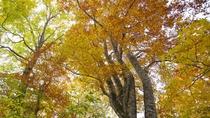 【周辺のぶな林】紅葉