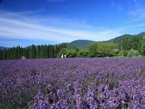 【周辺観光】美郷町ラベンダー園