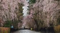 【角館武家屋敷通り:春】桜の季節