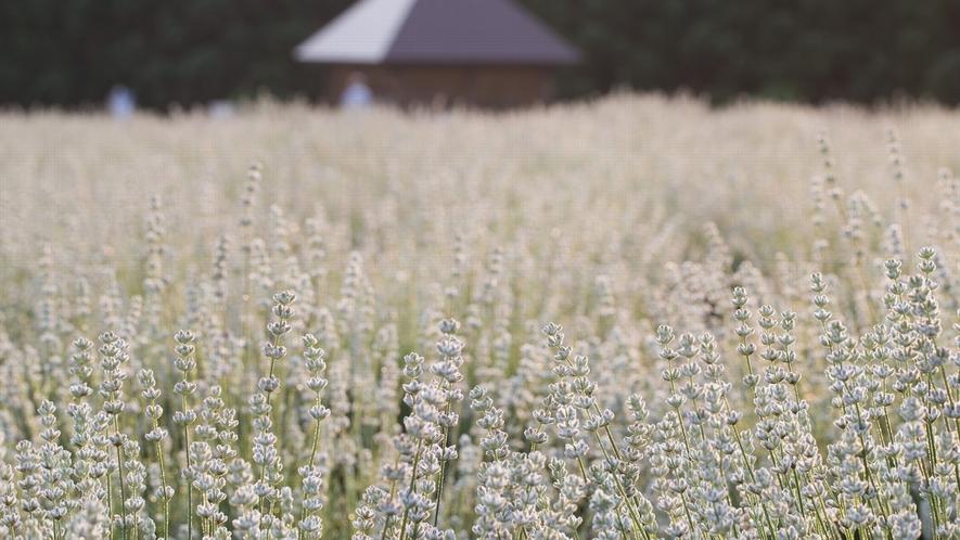 【美郷町ラベンダー園】ホワイトラベンダー