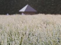 【周辺観光】美郷町ラベンダー園 ホワイトラベンダー